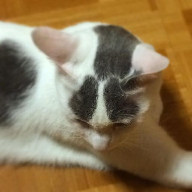 ハチです… ハチですハチですハチです…。 #cat#blackandwhitecat#animal#catsofinstagram#instacat#catinsta#chat#gatto#pet#catstagram#catlovers#ネコ#猫#ねこ#白黒猫#猫部#catoftheday#ilovecat#beautifulcat
