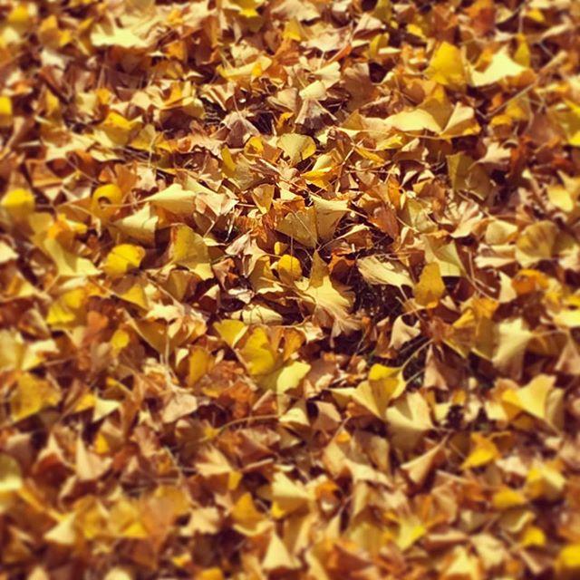 銀杏の絨毯Autumnal tints - Ginkgo#ginkgo #autumn #銀杏 #秋