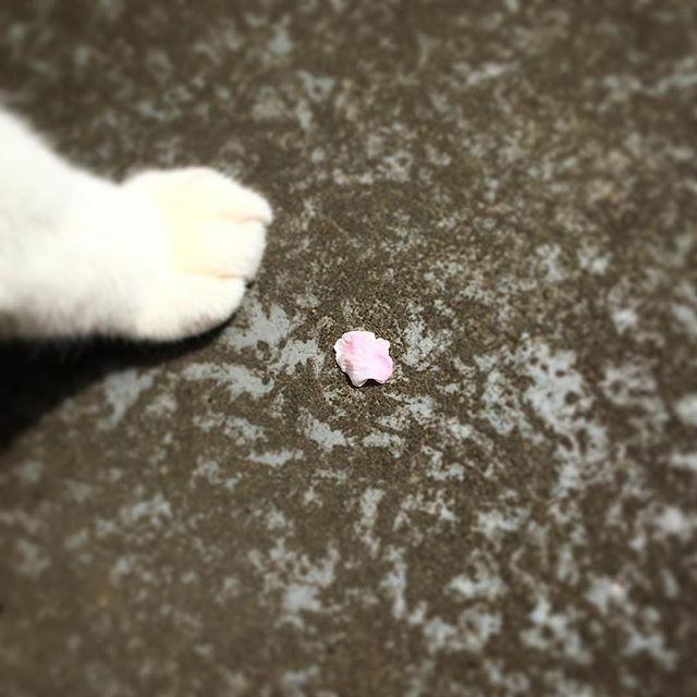 春の訪問者。Spring visitor #cat#blackandwhitecat#catsofinstagram#instacat#catinsta#chat#gatto#catstagram#catlovers#ネコ#猫#ねこ#白黒猫#猫部#春#spring#catoftheday#ilovecat#beautifulcat