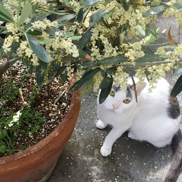 ハチ vs 蜂。 Cat(Hachi) vs Carpenter bee. 🐈 vs #catoftheday#ilovecat#beautifulcatcat#blackandwhitecat#animal#catsofinstagram#instacat#catinsta#chat#gatto#pet#catstagram#catlovers#猫#ねこ#白黒猫#猫部#はちわれ